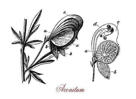 XIX century engraving of Aconitum flowering perennial plant extremely poisonous with palmated leaves, blue or purple flowers and fruits as capsules with seeds.Several species of Aconitum have been used as arrow poisons. Stock Photo