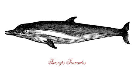 The Tursiops truncatus (bottlenose dolphin) is the most well-known species from the family Delphinidae. It has a bigger brain than humans and is recpognized as highly intelligent.