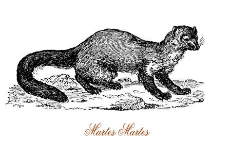 marten: The European pine marten (Martes martes) is an animal native to Northern Europe belonging to the mustelid family, which also includes mink, otter, badger, wolverine and weasel. Stock Photo