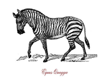 The plains zebra (Equus quagga) is the most common and geographically widespread species of zebra.It ranges from the south of Ethiopia through East Africa to as far south as Botswana and eastern South Africa.