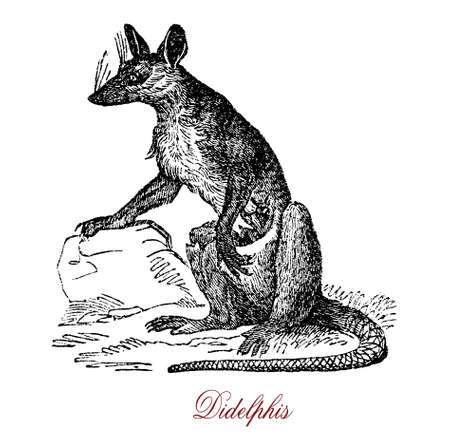 The Didelphis, commonly known as large American opossum, is cat-sized omnivorous animal, and is recognized on its prehensile tail and the tendency to play possum (feign dead) when cornered.
