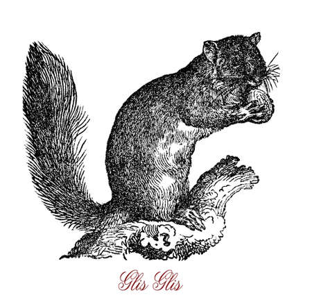 The edible dormouse or fat dormouse (Glis glis) is a large dormouse. Its name comes from the Romans, who ate them as a delicacy.