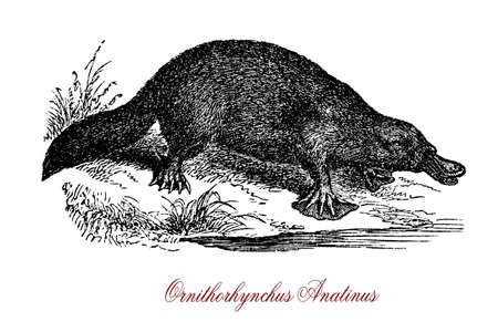 The platypus (Ornithorhynchus anatinus) is a semiaquatic egg-laying mammal endemic to eastern Australia, including Tasmania. Together with the echidnas, it is one of the five extant species of monotremes, the only mammals that lay eggs instead of giving b