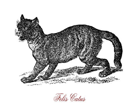 The wildcat (Felis silvestris) is a small cat native to most of Africa, Europe, and Southwest and Central Asia. Crossbreeding of wildcat and domestic cat (Felis silvestris catus) may occur thus endangering the preservation of the species. Stock Photo