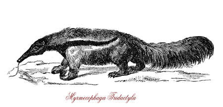 The giant anteater (Myrmecophaga tridactyla) is a large insectivorous mammal native to Central and South America. Stock Photo