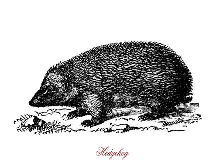 A spiny mammals of the subfamily Erinaceinae. Hedgehogs are omnivorous. They feed on insects, snails, frogs and toads, snakes, bird eggs, carrion, mushrooms, grass roots, berries, melons and watermelons.