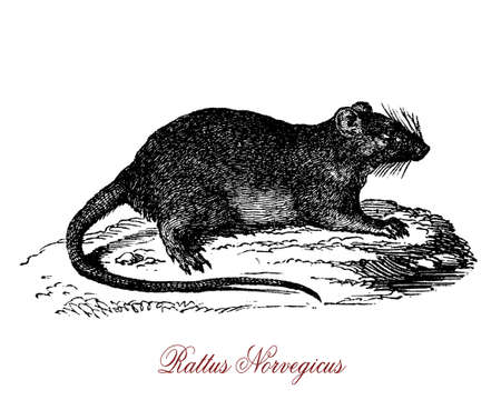 The rattus norvegicus is beste known as common rat, street rat, sewer rat, or just rat. One of the largest muroids, it is a brown or grey rodent with a body up to 25 cm. Stock Photo