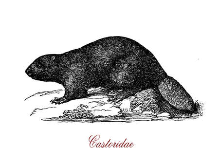 Castorids (beavers) are medium-sized mammals,  semiaquatic, with sleek bodies and webbed hind feet, and are more agile in the water than on land. Their tails are flattened and scaly, adaptations that help them manoeuvre in the water. Stock Photo