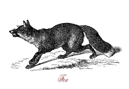 Foxes are small-to-medium-sized, omnivorous mammals belonging to several genera of the family Canidae. The most common and widespread species of fox is the red fox (Vulpes vulpes). It has a widespread reputation for cunning.