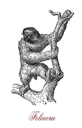 The folivora (sloth) is an arboreal mammal known mostly for its apparent laziness, though in emergency situations it can move with surprising swiftness.