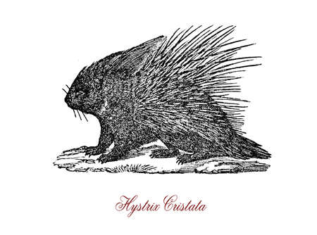 bristles: The crested porcupine (Hystrix cristata) is a species of rodent in the family Hystricidae found in Italy, North Africa, and sub-Saharan Africa.