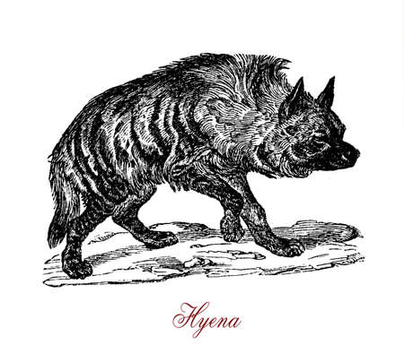 The hyena is a feliform carnivoral mammal of the family Hyaenidae. In some cultures, hyenas are thought to influence people�s spirits, rob graves, and steal livestock and children. Stock Photo