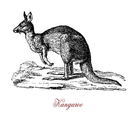 The kangaroo is the largest and most popular marsupial. It has large, powerful hind legs, large feet adapted for leaping, a long muscular tail for balance, and a small head. Like most marsupials, female kangaroos have a pouch called a marsupium in which j