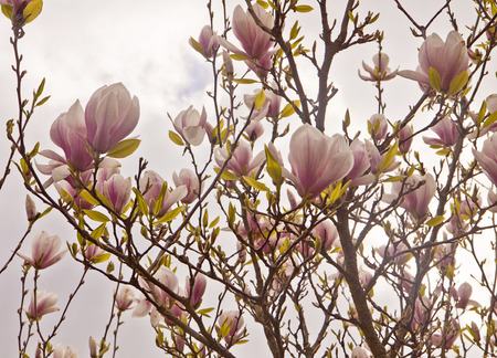 characteristic: Beautiful branches of magnolia x soulangeana in spring against a sunset sky with the characteristic tulip shaped pink purple blossoms Stock Photo