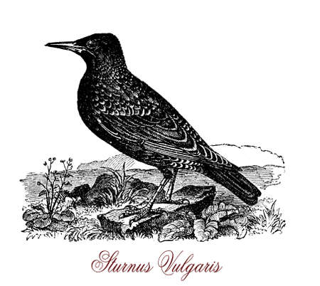 The common starling (Sturnus vulgaris) is a medium-sized passerine bird in the starling family, Sturnidae. Stock Photo