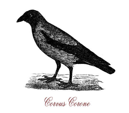 carrion: The carrion crow (Corvus corone) is a passerine bird  native to western Europe and eastern Asia Stock Photo