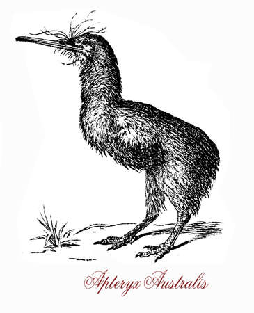 The southern brown kiwi, or tokoeka, (Apteryx australis) is found in New Zealands South Island. The greek-derived name means wingless.