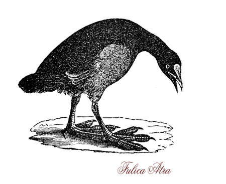 migrating: The Eurasian coot (Fulica atra) is a member of the rail and crake bird family, the Rallidae.  It is found in Europe, Asia, Australia and parts of Africa. Stock Photo