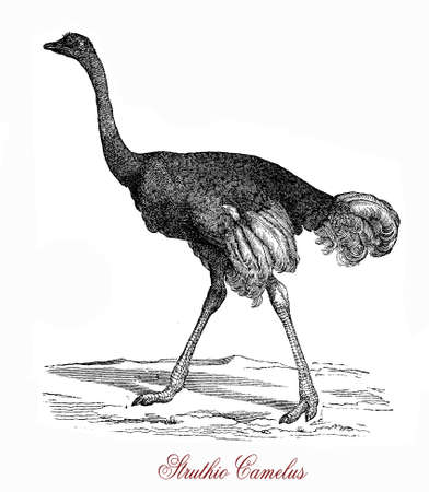 kenya: The ostrich (Struthio camelus) is  a large flightless birds native to Africa. It can run at up to about 70 kmh (19 ms; 43 mph), the fastest land speed of any bird. The ostrich is the largest living species of bird and lays the largest eggs of any living Stock Photo