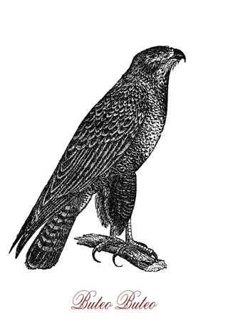The common buzzard (Buteo buteo) is a medium-to-large bird of prey whose range covers most of Europe and extends into Asia.