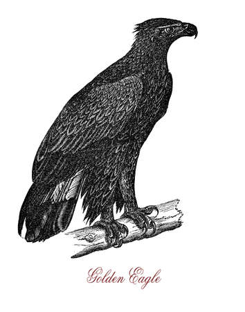The golden eagle (Aquila chrysaetos) is one of the best-known birds of prey in the Northern Hemisphere Stock Photo