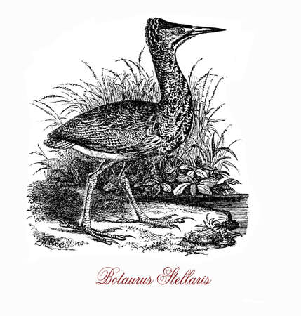 The Eurasian bittern (Botaurus stellaris) is a wading bird  breeding in parts of Europe, Asia, and Africa. It is a secretive bird, seldom seen in the open as it prefers to skulk in reed beds and thick vegetation near water bodies.