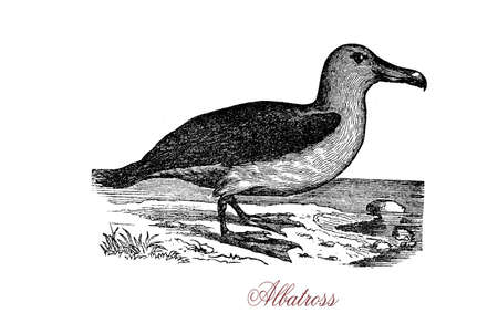 allied: The albatross, of the biological family Diomedeidae, is a large seabird allied to the procellariids, storm petrels and diving petrels.