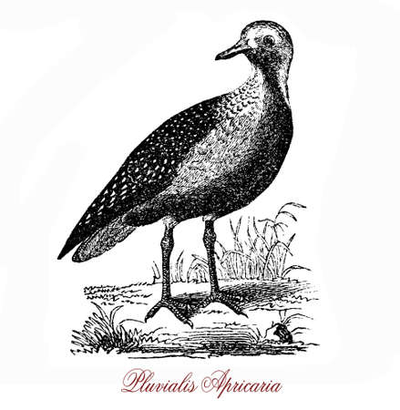 The European golden plover (Pluvialis apricaria) is a largish plover. The genus name is Latin and means relating to rain, from pluvia, Stock Photo