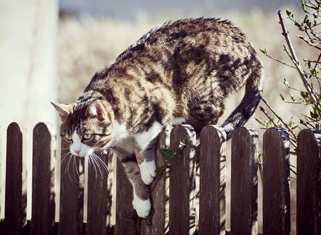 agachado: Gato de Tabby listo para saltar sobre una cerca de madera afuera, mirando su presa