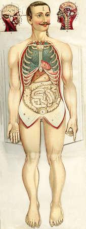 XIX century painted illustration of human abdomen anatomy and head, male representation