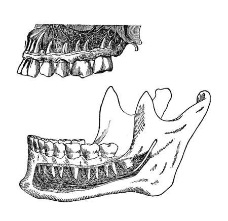 premolar: vintage illustration, position of human teeth in the jaws