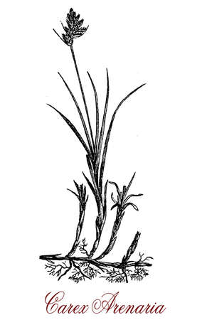 Carex arenaria, vintage engraving.Used in natural landscaping, oft in damp and wet conditions Stock Photo
