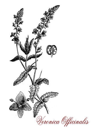 herbaceous: Veronica officinalis,vintage engraving. Perennial herbaceous plant with soft violet flowers and hairy leaves is used in herbal medicine for its anti-inflammatory properties. Stock Photo