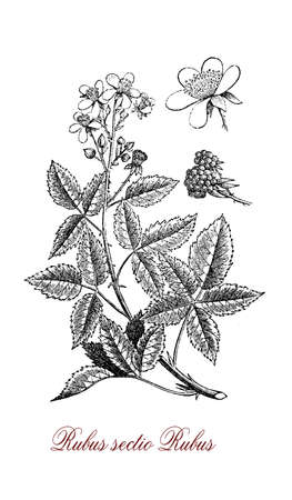 Vintage illustration of blackberry, perennial plant with palmated leaves,very sharp prickles, flowers and edible fruits (berries), it grows also in poor soil. Stock Photo