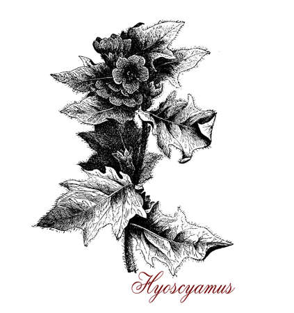 Vintage illustration of Hyoscyamus or henbane,toxic plant used in traditional medicine as anaesthetic  and for beer flavouring, now cultivated for pharmaceutical purposes and as henbane oil for medical massage Stock Photo