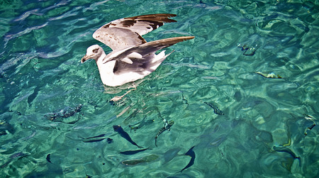 blue waters: Seagull floating on turquoise waters with fish silhouettes under the sea surface Stock Photo