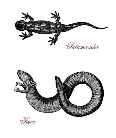 Vintage engraving of siren, aquatic salamander similar to eel and partially herbivorous, and spotted salamander, amphibian lizard-like normally black with yellow-orange spots. Stock Photo