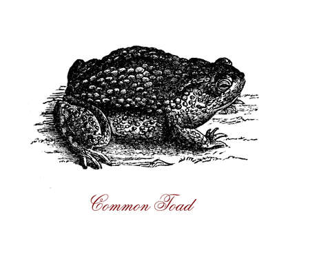 Vintage engraving of common toad, amphibian with greyinsh-brown skin covered by lumps, active at dusk for food hunting