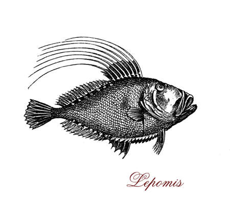 bluegill: Vintage engraving of lepomis or sunfish, freshwater fish widely distributed throughout the lakes and rivers of North America Stock Photo