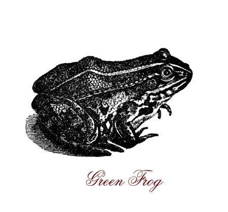 Vintage engraving of green frog, smooth, moist-skinned and edible amphibian
