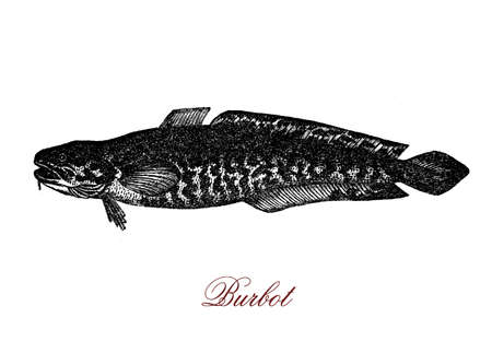 Vintage engraving of burbot, freshware circumpolar fish, it has a serpent-like body and lives and breeds under ice, its name comes fron Latin as beard, for his chin wisker. Stock Photo