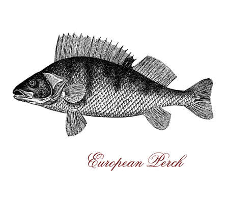 perca: Vintage engraving of European perch,predatory fish and seafood living in freshwaters of lakes and rivers, characterized usually by five to eight dark vertical bars on the dorsal side