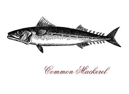 Vintage engraving of common mackerel,strong flavored seafood of saltwater with warm temperatures