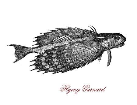 Vintage engraving of flying gurnard, tropical fish of Atlantic Ocean with semi-transparent bright blue phosphorescent wings