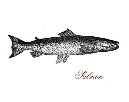 Vintage engraving of salmon,it lives in fresh water, but oft spends most of life at sea, returning to the rivers only to reproduce.