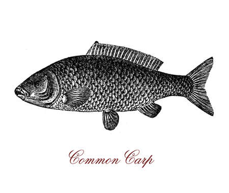Vintage engraving of common carp, freshwater fish since antiquity important food resource for humans Stock Photo