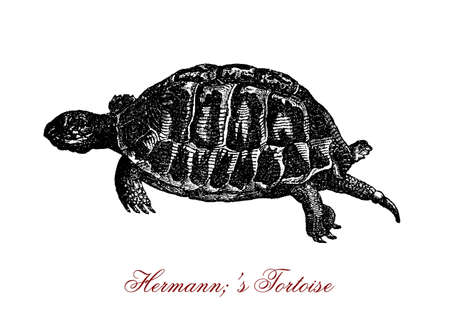 vintage engraving of Hermanns tortoise, named from French naturalist Johann Hermann,lives in South Europe, has a black and yellow patterned carapace and horny beak instead of teeth