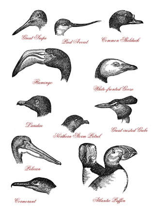 Portraits of different wildlife bird heads: great snipe, pied avocet, shelduck, flamingo, goose, laridae, norther storm petrel, grebe, pelican, cormorant, Atlantic puffin, vintage engraving