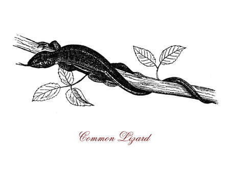 Vintage portrait of common lizard,viviparous reptile polymorphic of variable colors with tail twice as long as the body, widely distributed in Europe and Asia