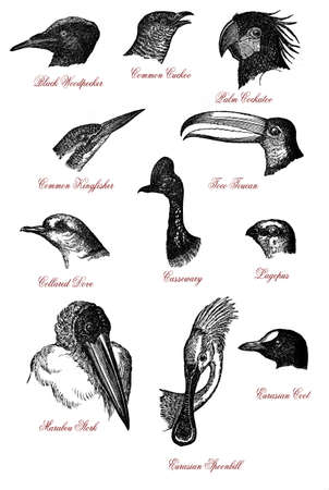 Portraits of different wildlife bird heads: woodpecker, cuckoo,cockatoo,kingfisher,toco toucan, dive,cassowary,lagopus,marabou,spoonbill and coot, vintage engraving